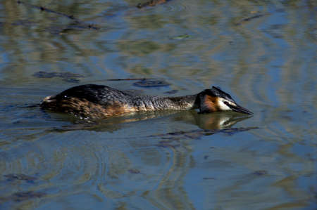 swimm: Great Crested Grebe ready for clash and reflections in water Stock Photo