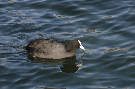 coot: Black and white Coot swimming with red eyes