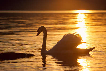 Swan against the light at sunset and reflections on water Reklamní fotografie