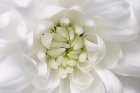 Close view of white flowers : aster with white petals and yellow heart photo