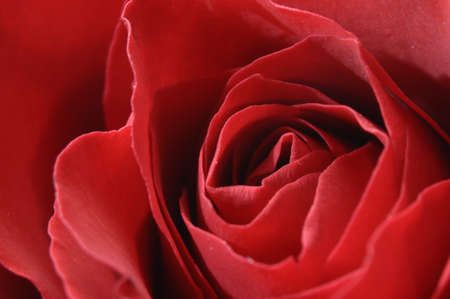 Close view of rose red heart Stock Photo - 12290974