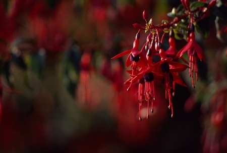 fuschia: Red Flowers of Fuschia of Magellan (fuchsia magllanica riccartonii) on blur background in Ireland Stock Photo