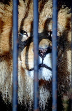 Close view of a Sad-eyed lion behind the bars of a cage