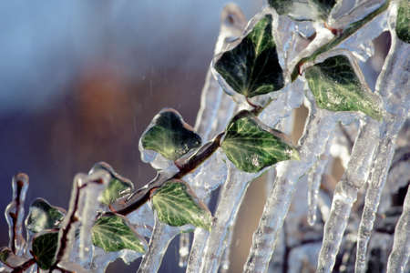 Ivy leaves trapped in ice and ice stalactites on blur background photo