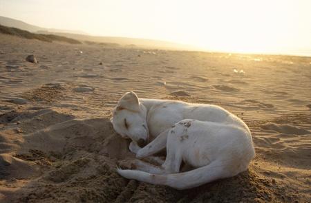 White Stray Dog sleeping on sand of beach by sunset photo