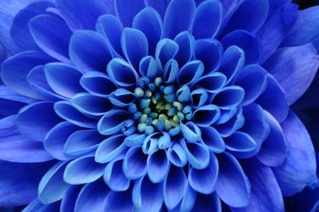 birthday flowers: Close-up van blauwe bloem aster met blauwe bloemblaadjes en gele hart voor achtergrond of textuur Stockfoto