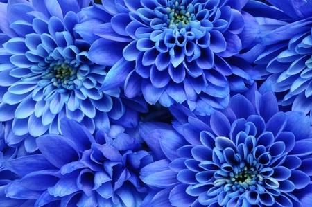 Close-up van blauwe bloem aster met blauwe bloemblaadjes en gele hart voor achtergrond of textuur Stockfoto
