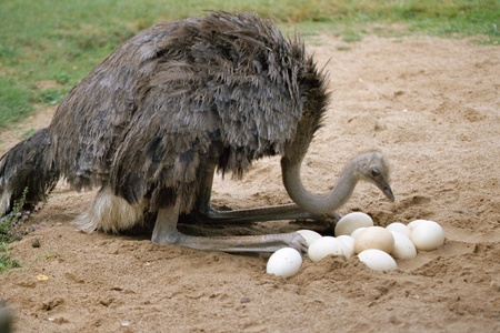 An ostrich returns its twelve eggs in its nest on land photo