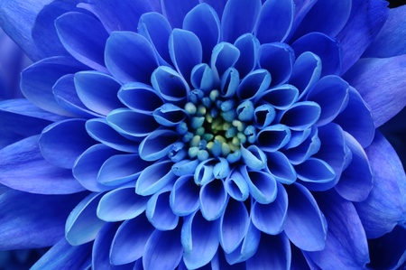 Close up of blue flower : aster with blue petals and yellow heart for background or texture photo