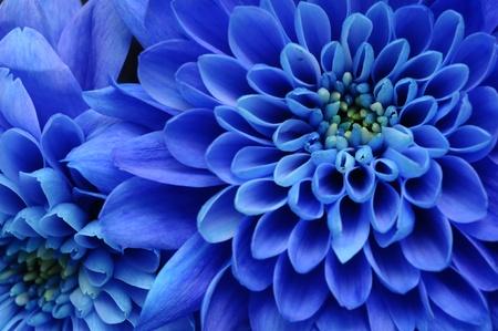 corazones azules: Primer plano de la flor azul: aster con p�talos azules y coraz�n amarillo para el fondo o la textura