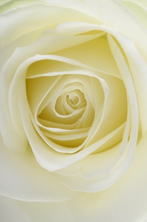 Macro of white rose heart and petals Stock Photo - 13469628