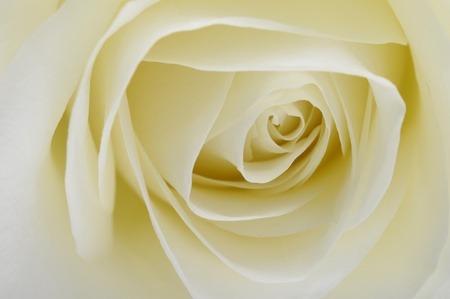 Macro of white rose heart and petals photo