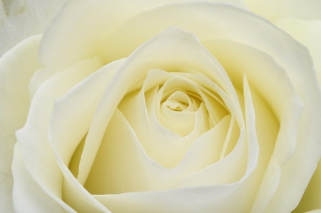 Macro of white rose heart and petals Stock Photo - 13533288