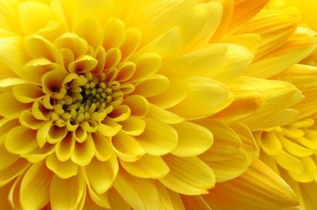 rosas amarillas: Close up de color amarillo aster flor, margarita
