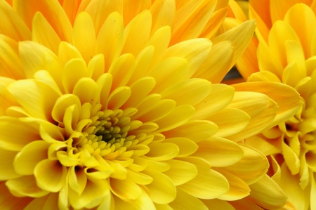 Close up of yellow flower aster, daisy photo
