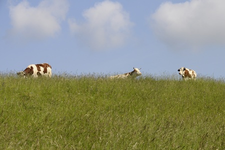 Two white and brown horned cow in summer field under blue sky with some clouds photo