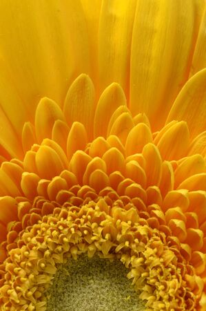 Close up of yellow petals, pistils and green heart flower of aster for background or texture photo