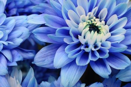 hart bloem: Close-up van blauwe bloemblaadjes, stampers en witte hart bloem van de aster voor achtergrond of textuur Stockfoto