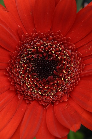 Macro of red flower with heart, pistil and petals for background or texture photo