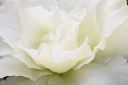 serrated: Close up of white azalea flower and serrated shaped lace petals