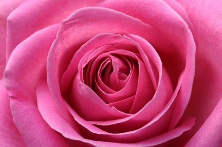 Macro of pink rose heart and petals for background or texture photo