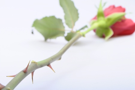 prick: Close up of Thorns of a red rose with focus on thorn on light background