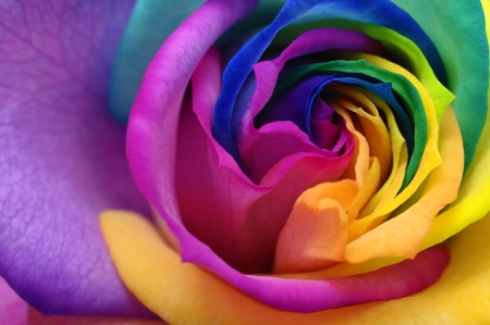 Macro of rainbow rose heart and colored petals Reklamní fotografie
