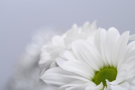 Macro of white daisy heart and petals photo