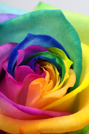 Macro of rainbow rose heart and colored petals Stock Photo