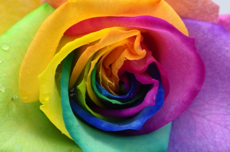 Macro of rainbow rose heart and colored petals photo