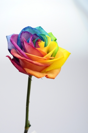 Macro of rainbow rose heart flower and multi colored petals photo