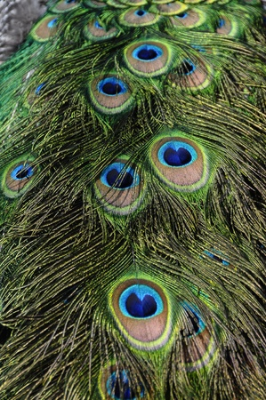 blue peafowl: Close up of peacock feather with blue eyes and brilliant colors