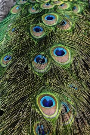 brilliant colors: Primer plano de pluma de pavo real con los ojos azules y brillantes colores