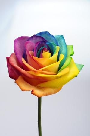 hart bloem: Macro van de regenboog roos hart bloem en multi gekleurde bloemblaadjes