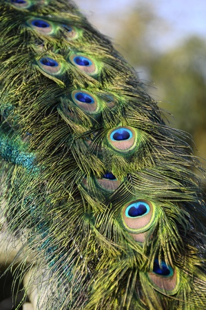 brilliant colors: Close up of peacock feather with blue eyes and brilliant colors