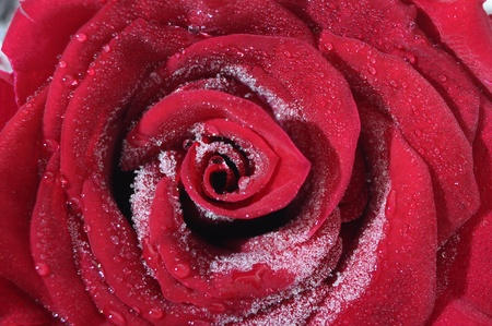 Macro of red rose heart and petals with frozen water photo