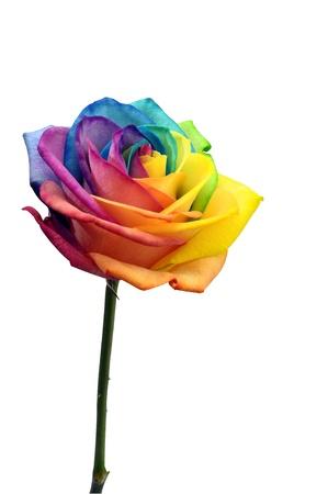 rosas amarillas: Macro de rosa del coraz?n del arco iris de colores y p?talos de flores de m?ltiples Foto de archivo