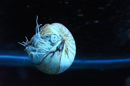 mollusc: Live nautilus shell swimming in dark aquarium