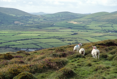 overview: Muttons and overview of countryside in Ireland Stock Photo