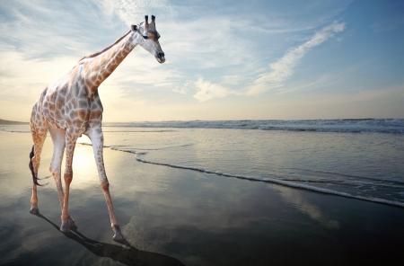 shifted: Unusual view of a giraffe walking alongside the sea on a sandy beach Stock Photo