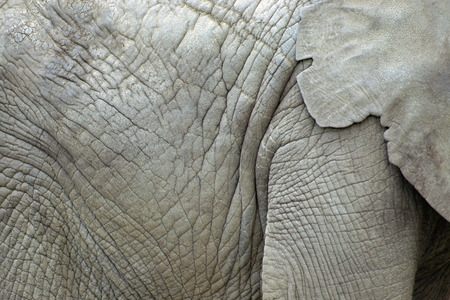 Close up of an elephant skin and ears for background or texture