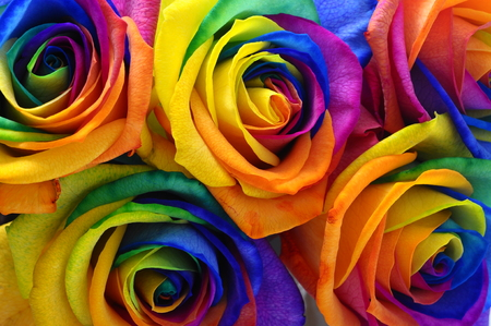 Close up of happy rose   rainbow flower with colored petals photo