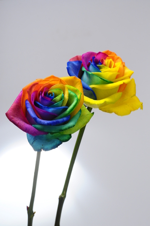 Bouquet of happy flower   rainbow rose with colored petals photo