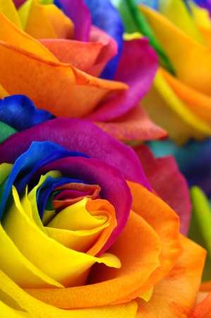 Close up of happy rose   rainbow flower with colored petals Stock Photo - 24894766