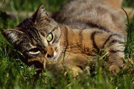 eye green: Primer plano de gato atigrado con ojos verdes rodando en la hierba