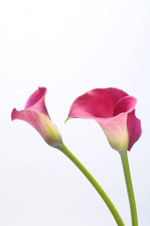 fleur arum: Gros plan de pourpre arum bouquet de fleurs