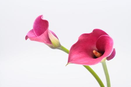 fleur arum: Pr�s de pourpre arum bouquet de fleurs Banque d'images
