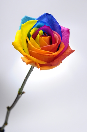 Close up of happy rose   rainbow flower with colored petals Reklamní fotografie