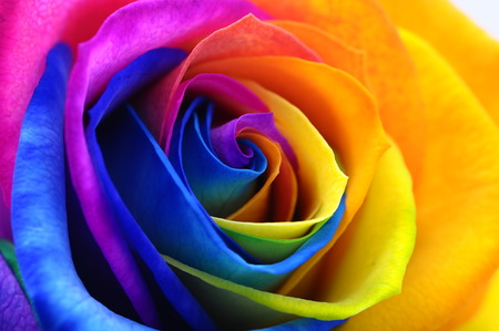 Close up of happy rose   rainbow flower with colored petals Фото со стока