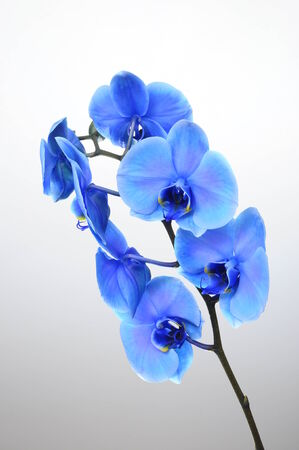 blue orchid: Blue orchid flower on light background